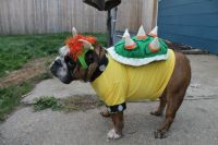 Sam as Bowser! Costume made by me :P | Sam the Bulldog ...