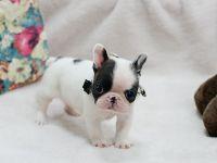 1000+ ideas about Teacup Bulldog on Pinterest | Teacup ...