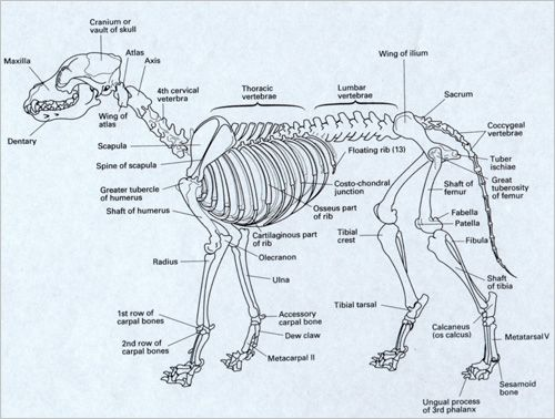 diagram coyote skeleton diagram