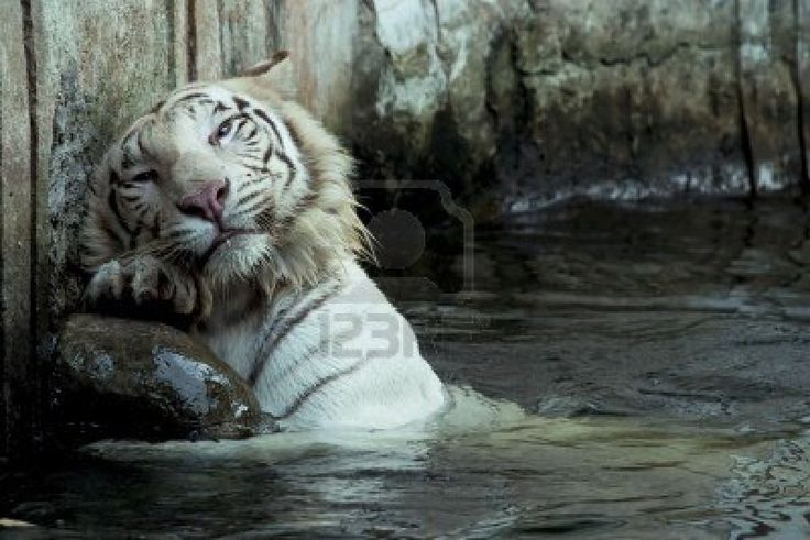 Bengal Cat Hd Wallpaper White Bengal Tiger Swimming Feline Big And Small Cats