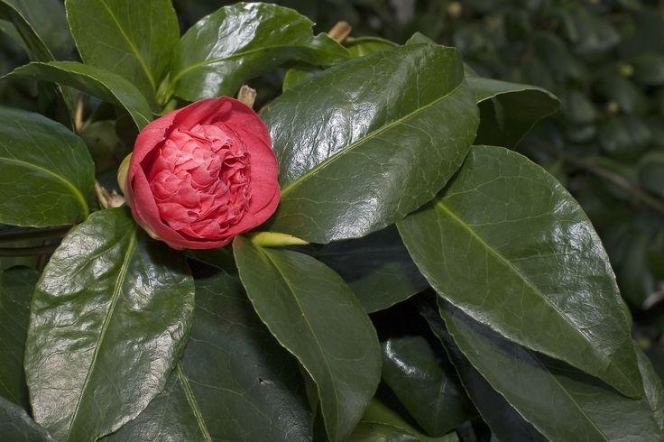 camellia japonica cv