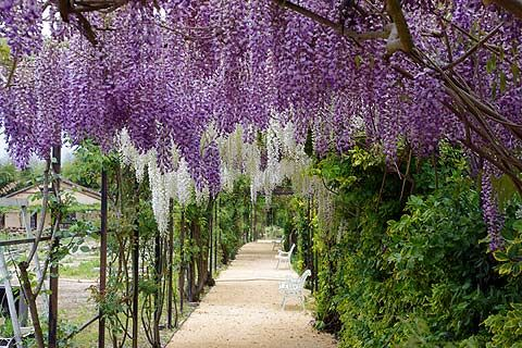 Wisteria Falls Wallpaper Wisteria Branches Wisteria Sinensis Growing Tips For