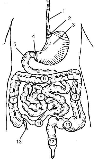 human body anatomy diagram organs
