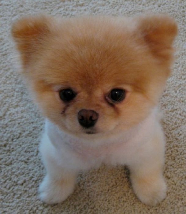 Cute Baby Pets Live Wallpaper Download 1000 Images About Boo The Cutest Dog On Pinterest
