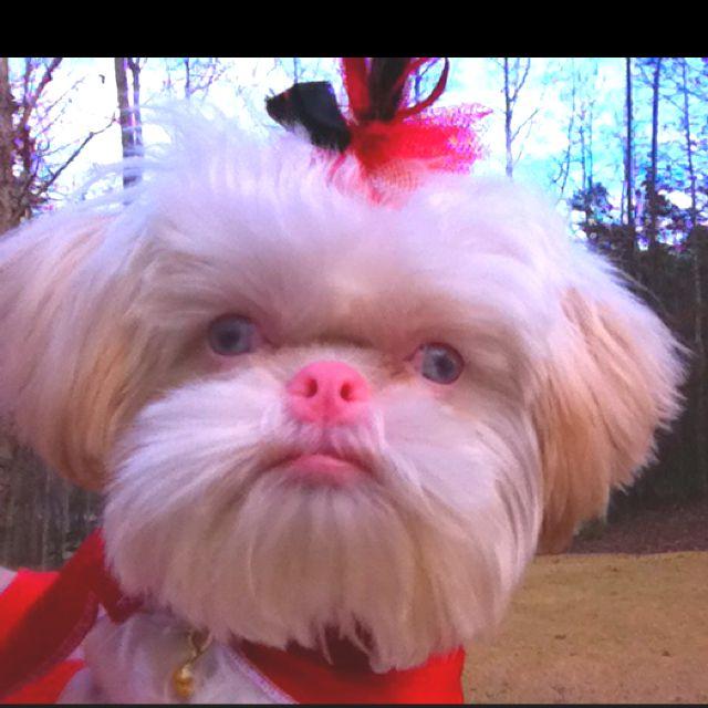 Cute Dog Wallpapers Fot Google Albino Shih Tzu Cute Animals P Pinterest Shih Tzu