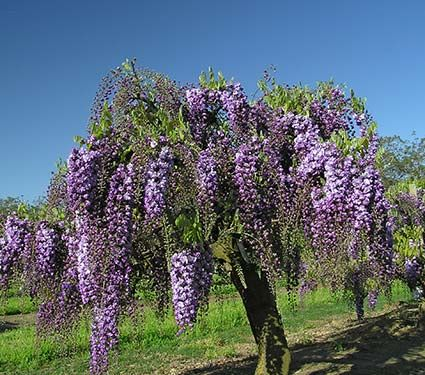 Wisteria Falls Wallpaper 90 Best Images About Flowers Wisterias On Pinterest