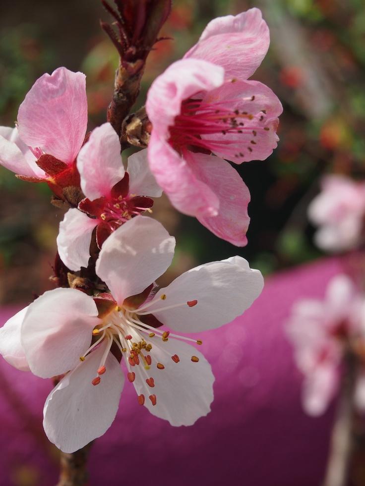 Prunus Persica 39bonfire39 Bonfire Patio Peach Leaf
