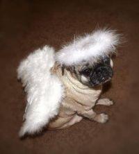 Pug dog wearing an angel costume   Dogs Pugs   Pinterest ...