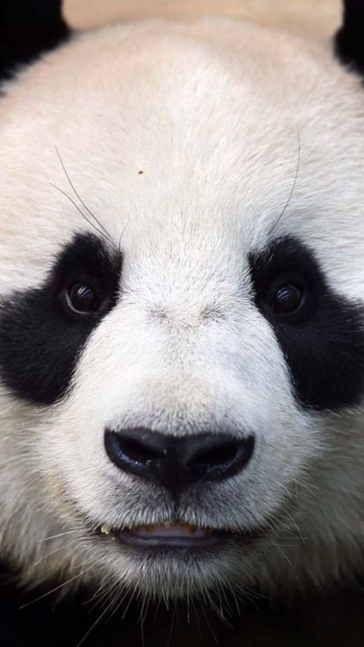 Phone Call From Your Girl Wallpaper 25 Best Ideas About Panda Bears On Pinterest Panda
