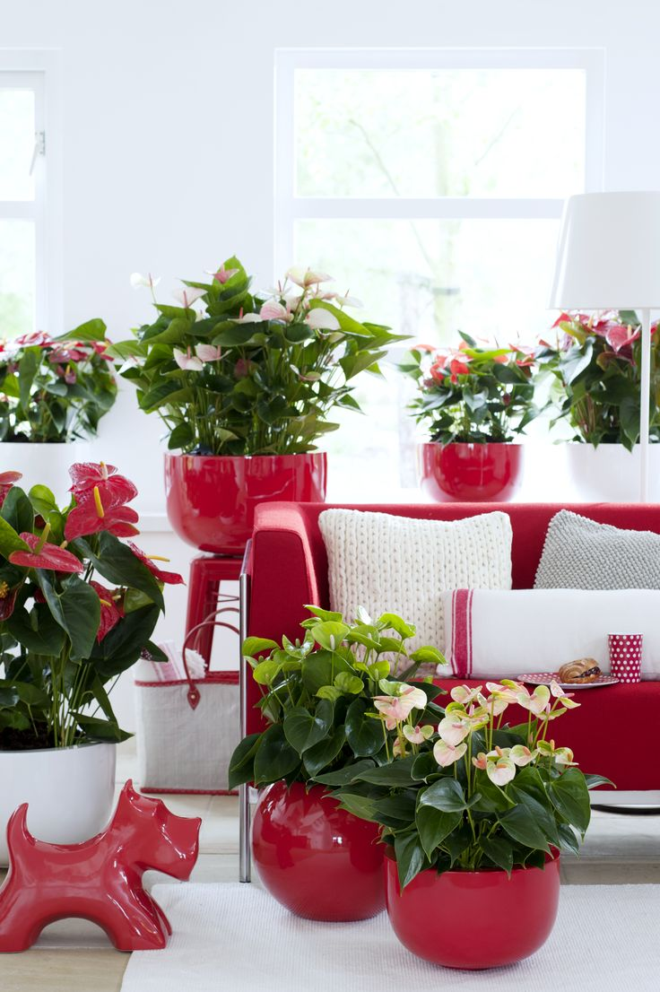 Anthurium Kopen 17 Best Images About &anthurium On Pinterest | Pink
