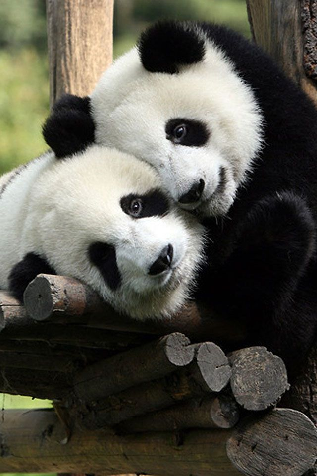 Sweet Cute Wallpapers For Phone Pandas Hugging Priceless Pandas Pinterest Giant