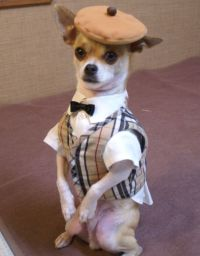 25+ best ideas about Chihuahua clothes on Pinterest ...