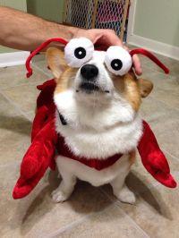 Lobster Corgi | Dog costume ideas | Pinterest