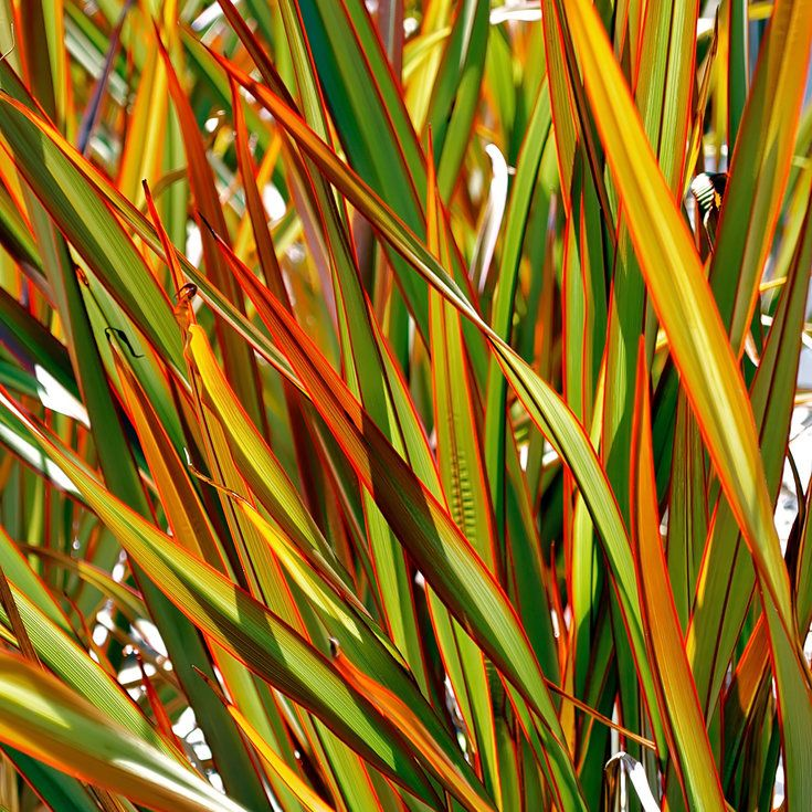 Flax New Zealand Flower Label 44 Best Images About Flax & Grass On Pinterest | Gardens