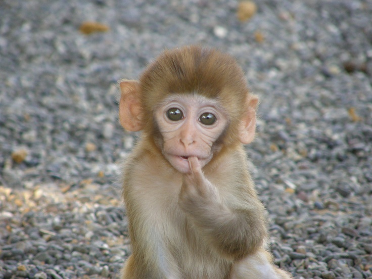 Cute Babies Wallpaper With Tears Rhesus Macaque Baby