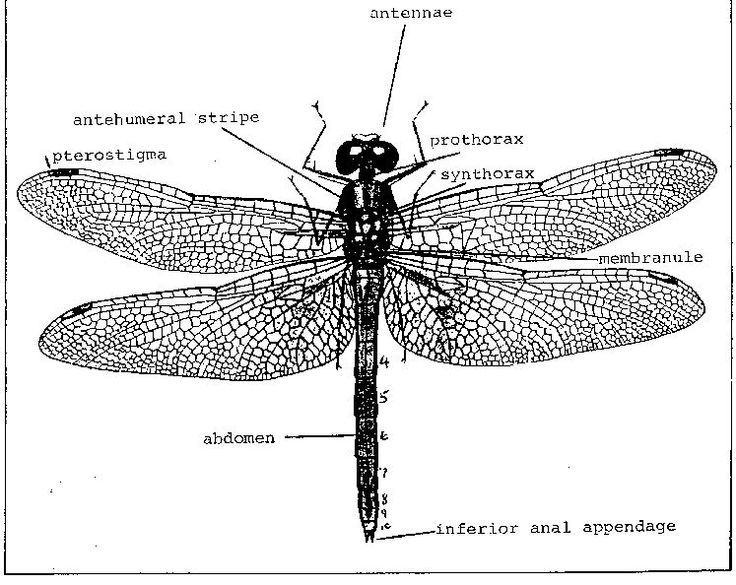 firefly anatomy diagram