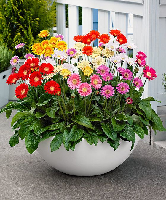 25 Best Ideas About Gerbera Plant On Pinterest Front