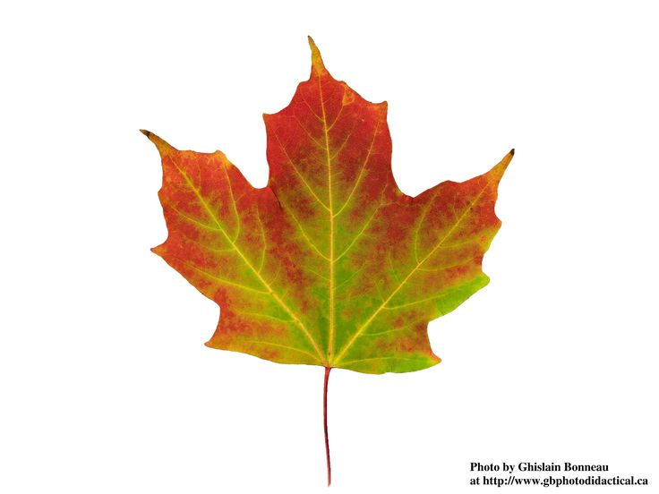 Fall Leaves Watercolor Wallpaper 9 Best Images About Leaves On Pinterest Green Falling