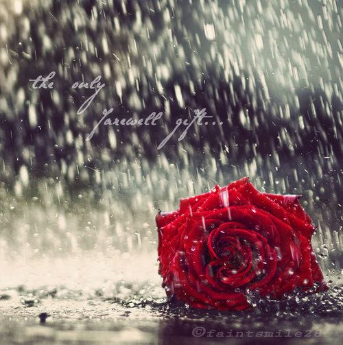 Falling Rose Petals Wallpaper Red Rose In The Rain Rain Amp Raindrops Pinterest The
