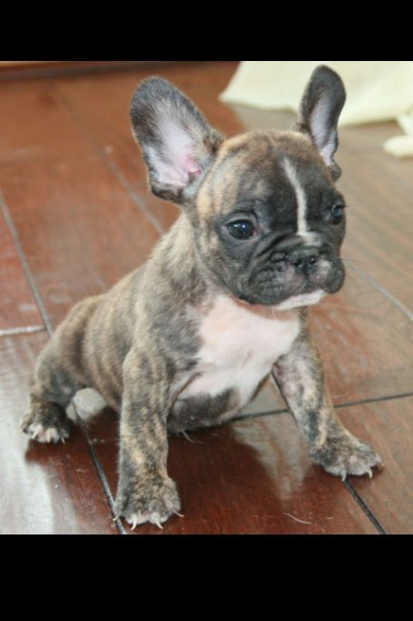 Cute Baby Puppy Pictures Wallpaper 1000 Ideas About Mini French Bulldogs On Pinterest