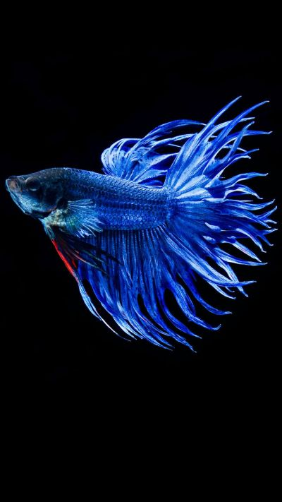 Apple iPhone 6s Wallpaper with Blue Betta Fish in Dark Background | Wallpapers and Pictures ...