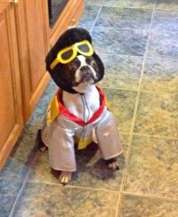 Best 25+ Boston terrier costume ideas on Pinterest ...