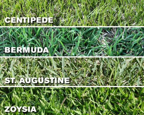 1000+ Ideas About Bermuda Grass Seed On Pinterest | Bermuda Grass