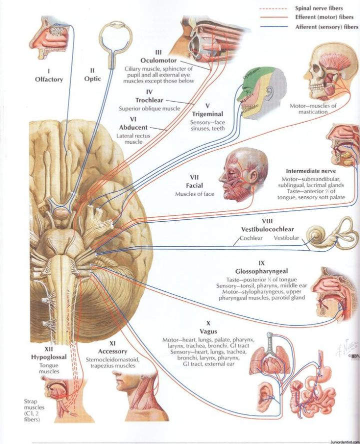 Motor Cranial Nerves Definition | Caferacersjpg.com