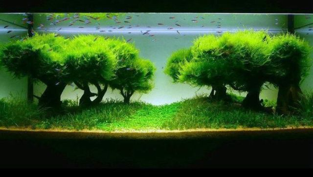 aquarium with java moss Aquariums Aquascaping, Java Moss, Fish Tanks