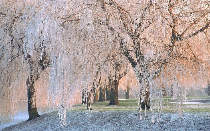 Starry Fall Night Wallpaper 43 Best Images About Weeping Willow Trees On Pinterest