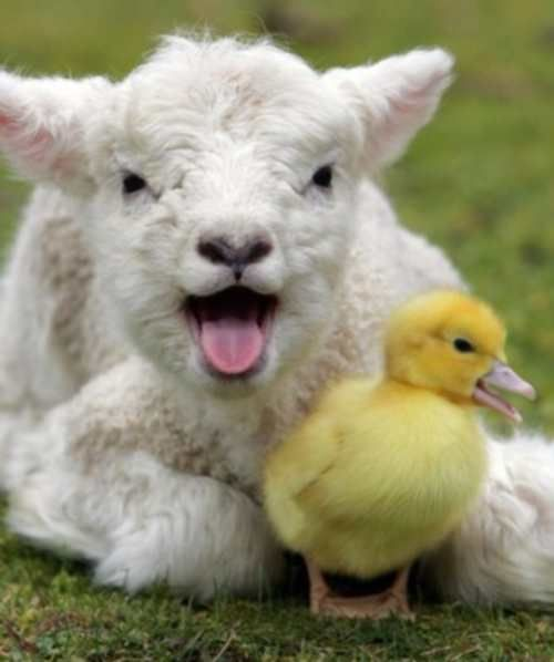 Cute Funny Babies Hd Wallpapers Cute Farm Animals Pictures Www Pixshark Com Images