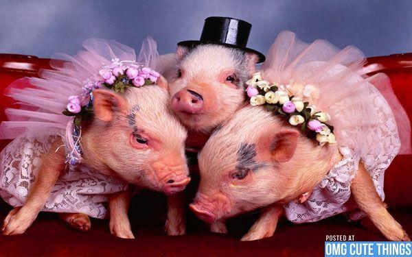 Cute Piggies Wallpaper Pigs In Costumes Pigs Photos Costumes Baby Animals Anna