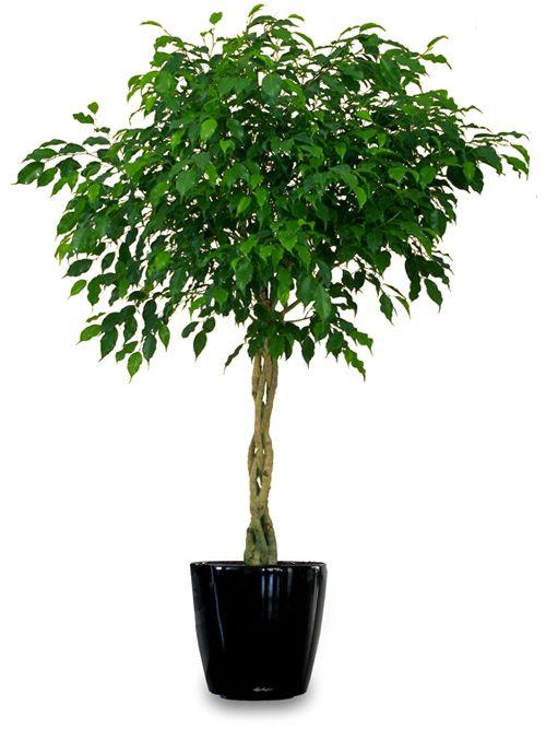1000+ Ideas About Ficus On Pinterest   Ficus Tree, Indoor Trees