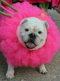 25+ best ideas about Bulldog costume on Pinterest ...
