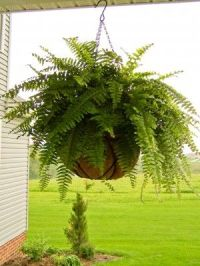 Ferns for front porch | Outside | Pinterest | Front ...