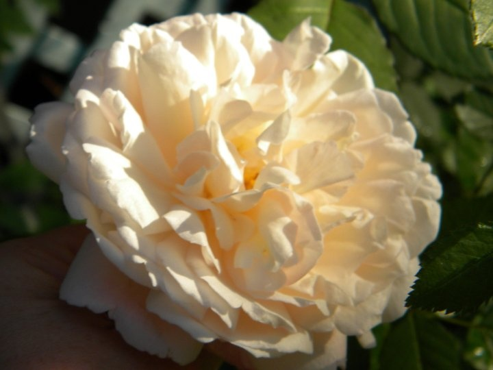 1000+ Ideas About Types Of Roses On Pinterest | Roses, Yellow