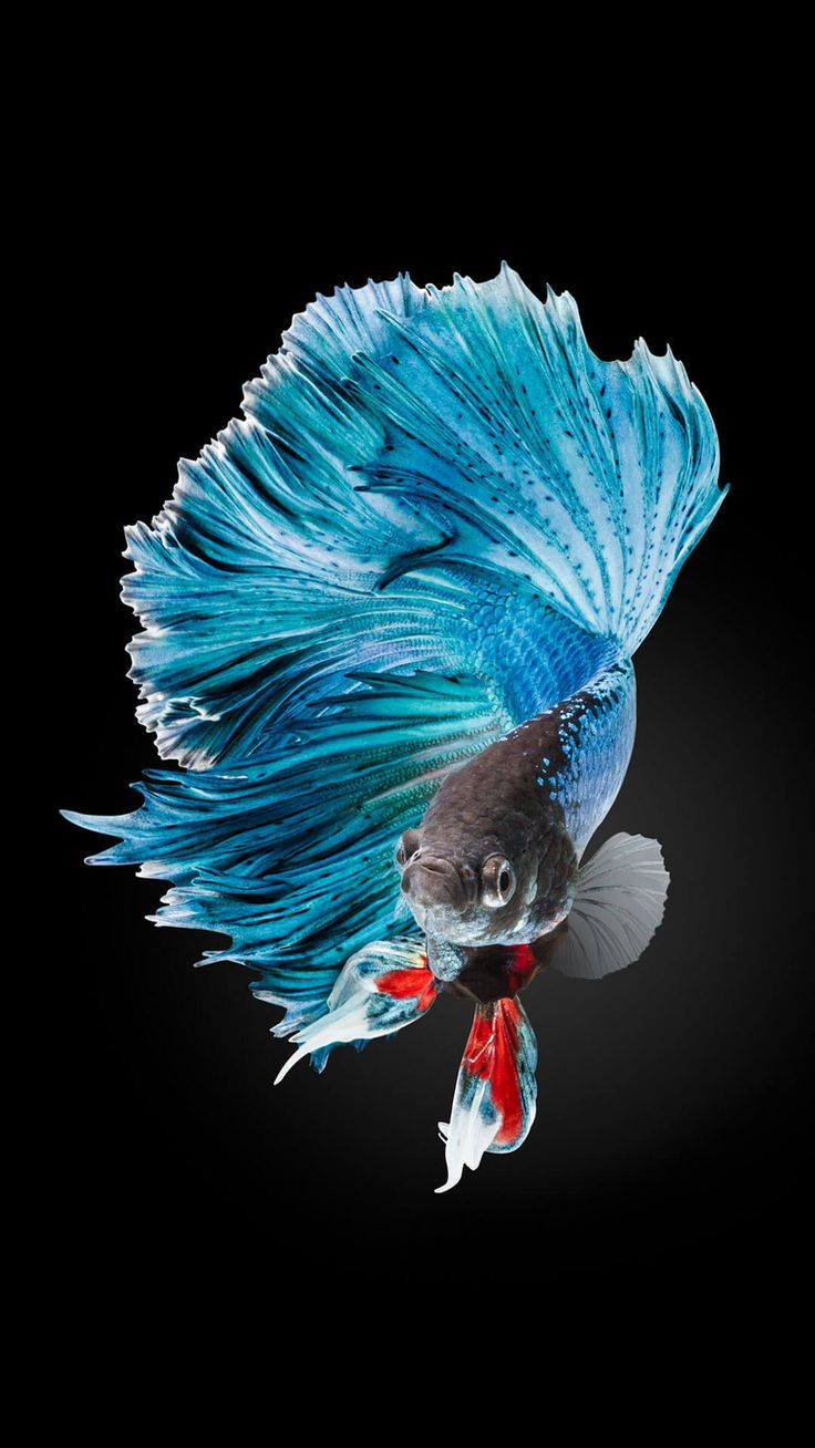 Moving Wallpapers For Iphone 6s Betta Fish Wallpaper Iphone 6 And Iphone 6s Hd Animal
