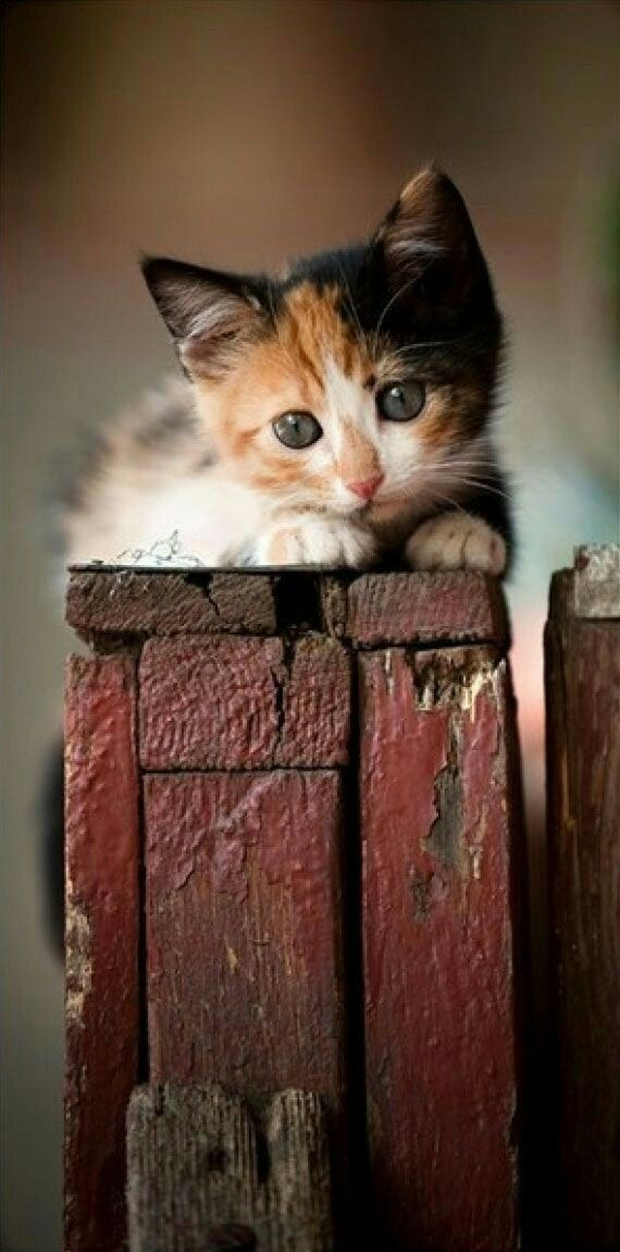 Schatige Dieren 862 Best Images About Calico Cats & Kittens On Pinterest