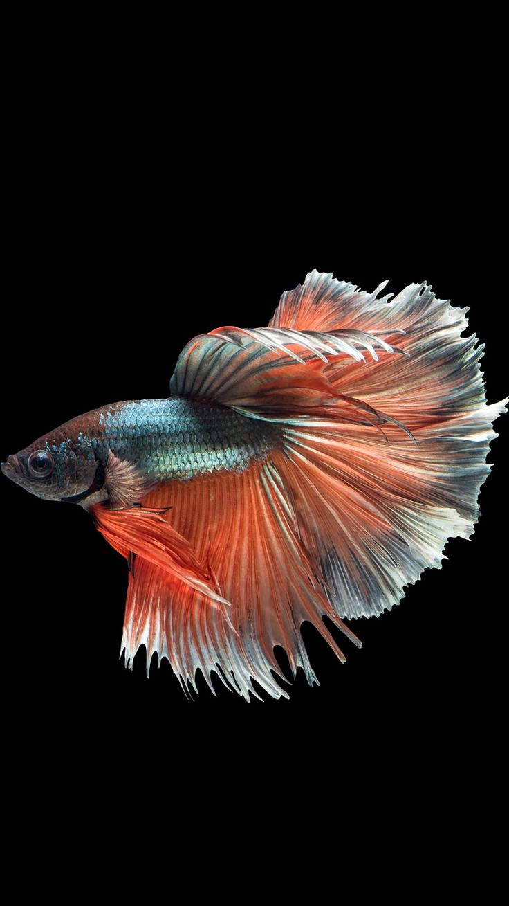 Moving Wallpapers For Iphone 6s Apple Iphone 6s Wallpaper With Multicolor Male Betta Fish