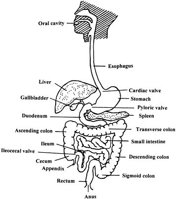 labeled diagram of fetal pig brain