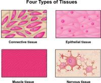 Connective Tissue Worksheet - Kidz Activities
