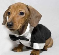 Dachshund, Clothes and Dogs in clothes on Pinterest