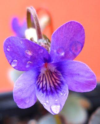 1000+ Ideas About Violet Flower Tattoos On Pinterest | Violet