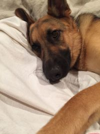 Max our German Shepard wants to sleep in my bed | My ...