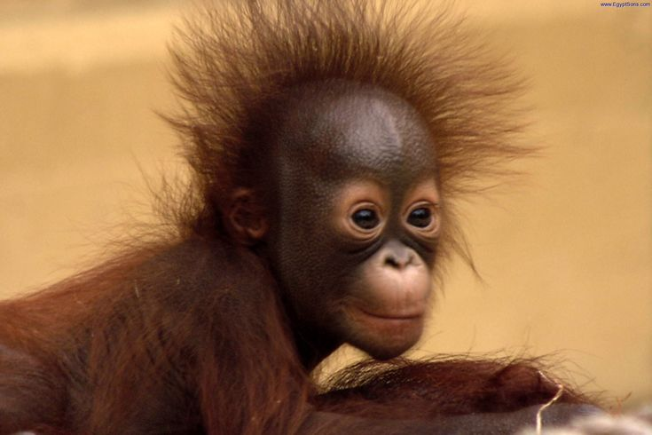 Cute Together Forever Wallpaper Orangutan Photos To Add This Image In Forums Click Next