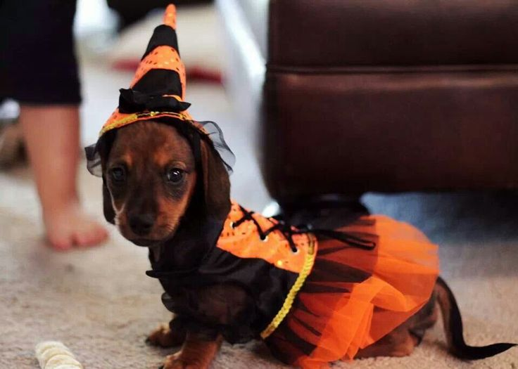 Fall Wallpaper Dog Weenie 17 Best Images About Halloween Dachshund Dogs On Pinterest