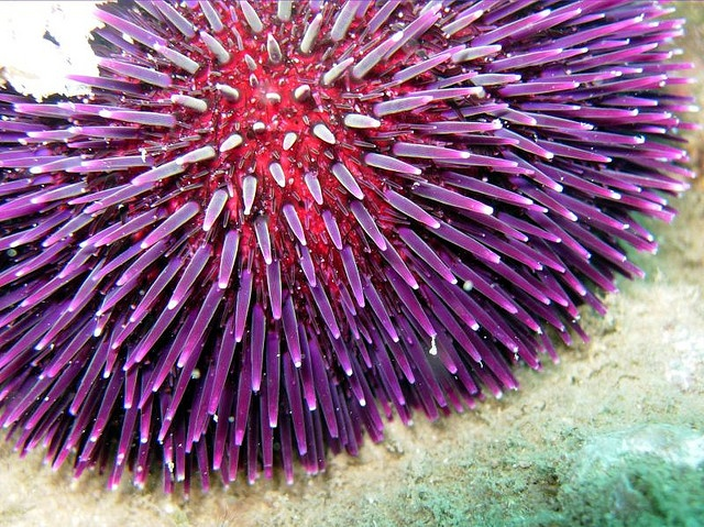 217 best images about Sea Urchins on Pinterest