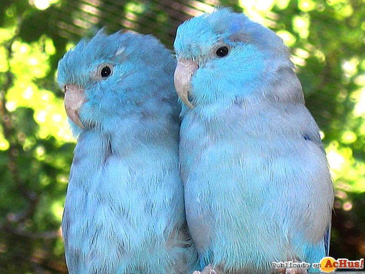 Cute Parakeet Wallpaper 8 Best Images About Forpus On Pinterest Cute Pictures