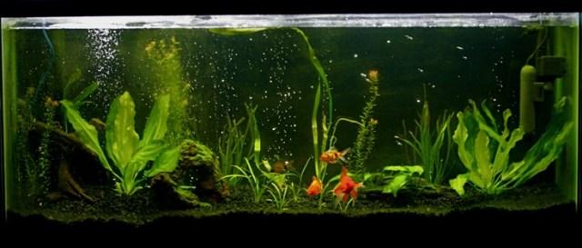 Aquarium plants for goldfish plants goldfish bowl for Aquarium decoration for goldfish