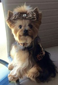 Yorkie | Yorkies | Pinterest | Clothes, Dogs and Yorkie
